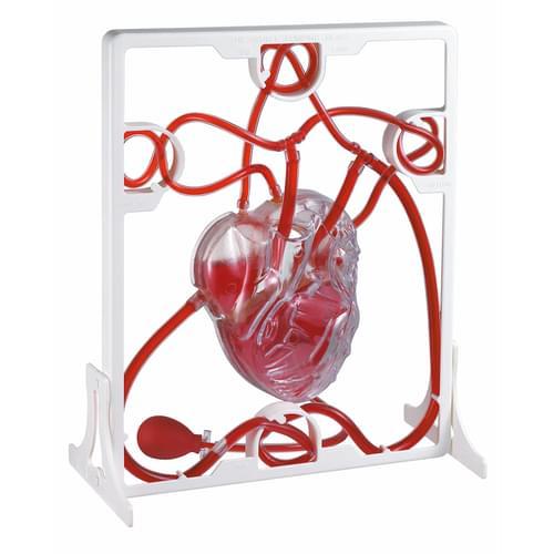 Edu-Qi Pumping Heart Model
