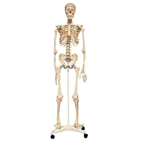 Edu-Qi Life-size Skeleton
