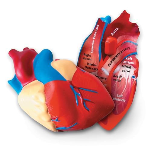 Heart Soft Foam Cross-Section Model