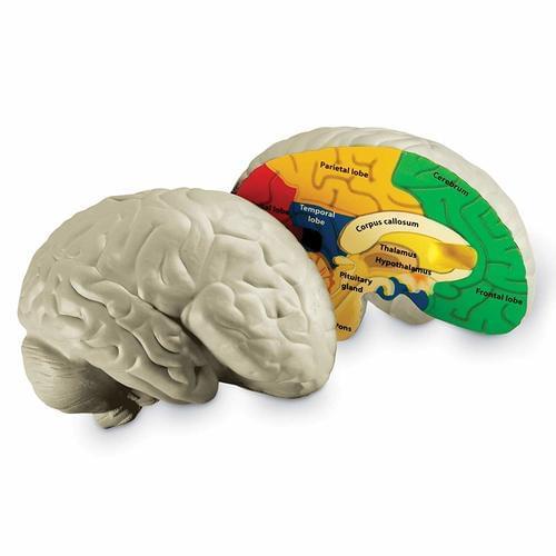 Brain Soft Foam Cross-Section Model